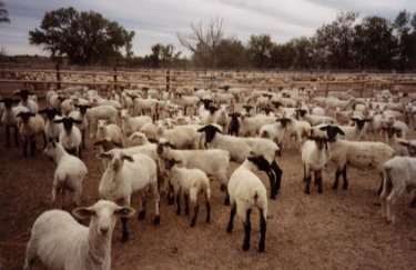 Sheep in a feedlot
